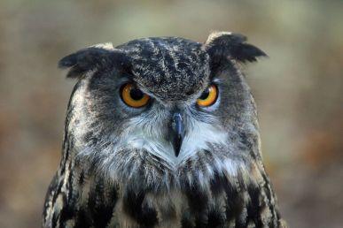 Eurasian Eagle-Owl (Bubobubo)