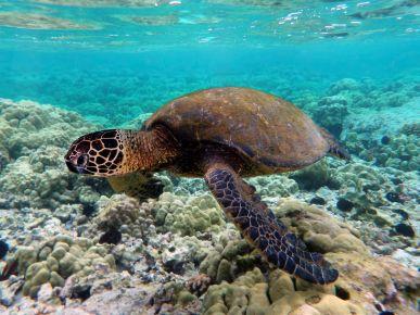 Green Sea Turtle (Cheloniamydas)