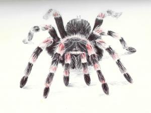 redknee tarantula