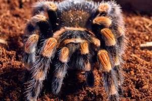 spiders_mexican_red_kneed_tarantula1-1030x688