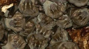 vampire-bat-colony-closeup.adapt.945.1