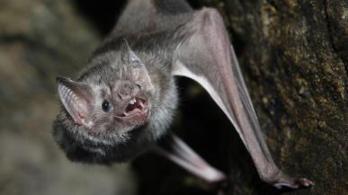 Vampire Bat (subfamilyDesmodontinae)