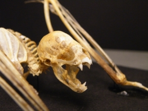 Vampire_bat_skeleton_face