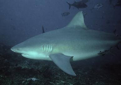 Bull Shark (Carcharhinusleucas)
