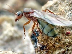 Camponotus_crispulus_queen_ant