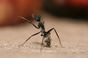 Camponotus_flavomarginatus_ant