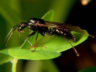 Carpenter Ant (genusCamponotus)