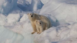 Female_polar_bear_(Ursus_maritimus)_with_cub,_Svalbard