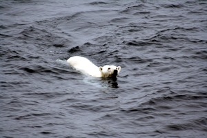 Polar_bear_arctic