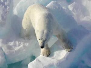 Polarbearonice