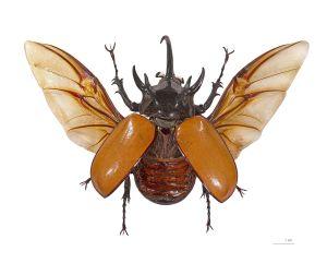 Eupatorus_gracilicornis_Vol