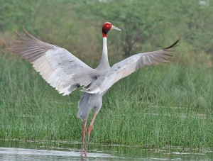 Sarus_Cranes_(Grus_antigone)-_In_Display_near_Hodal_I_Picture_2036