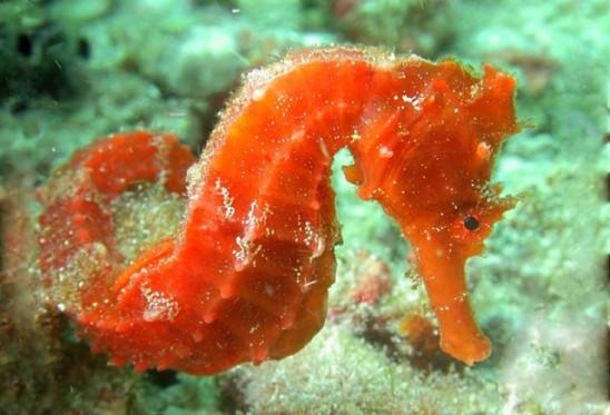 Hippocampus_ingens,I_RR3147.jpg