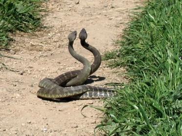 Rattlesnake_Dance_01