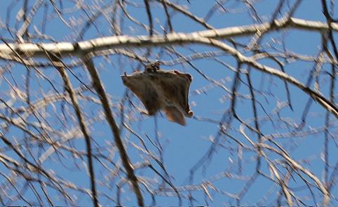 Flying_squirrel_in_a_tree.jpg