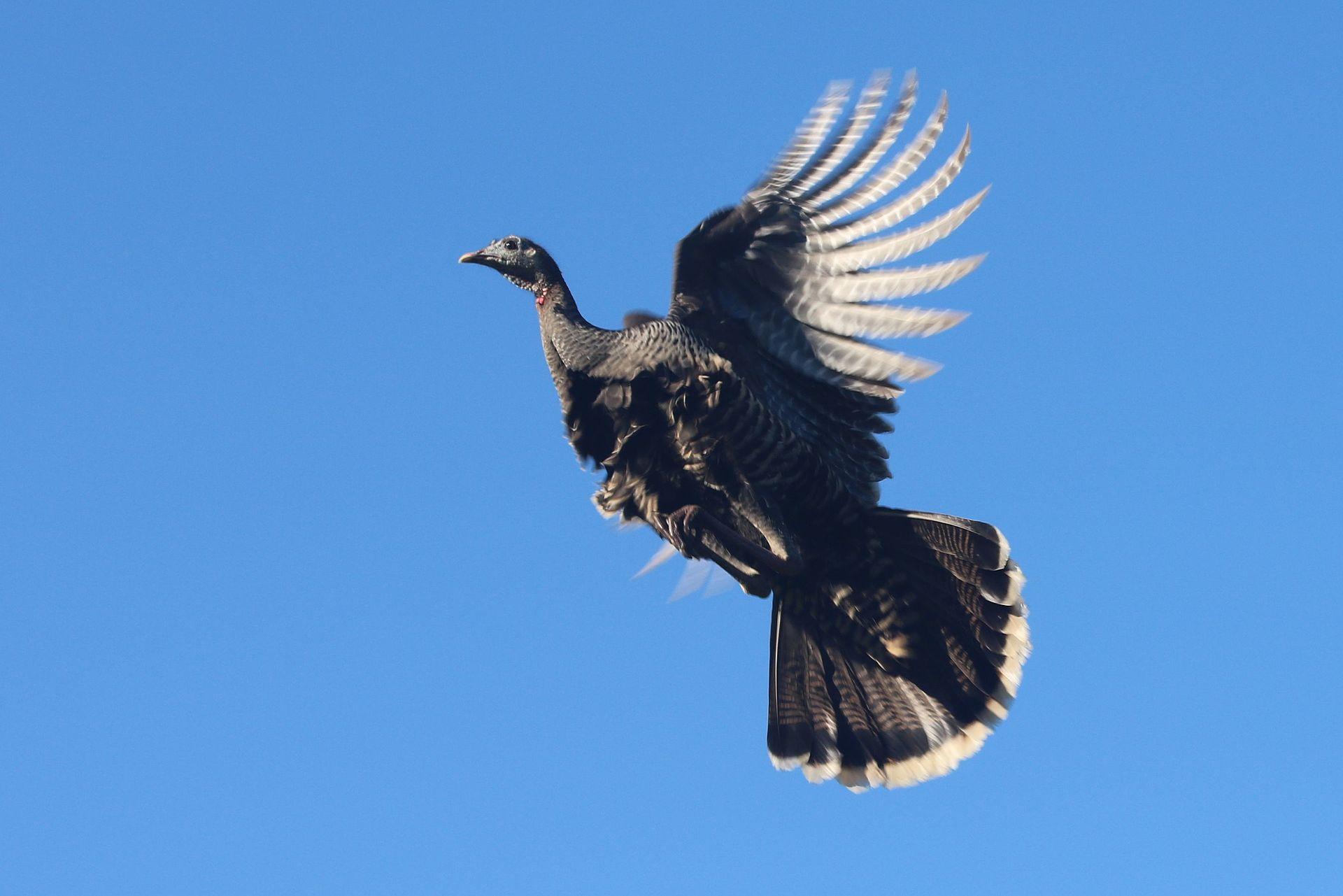 Meleagris_gallopavo_in_flight.gk